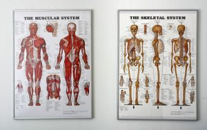 image of 2 posters - the muscular and the skeletal systems