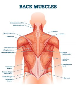 Diagram of the back muscles