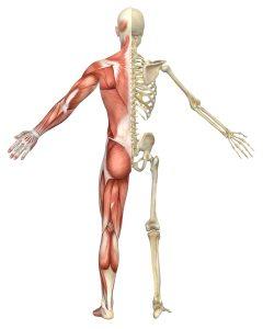 Diagram: Half muscular, half skeleton