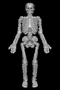 diagram of the full skeleton